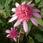 plnokveta echinacea purpurea