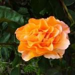 ruza oranzova