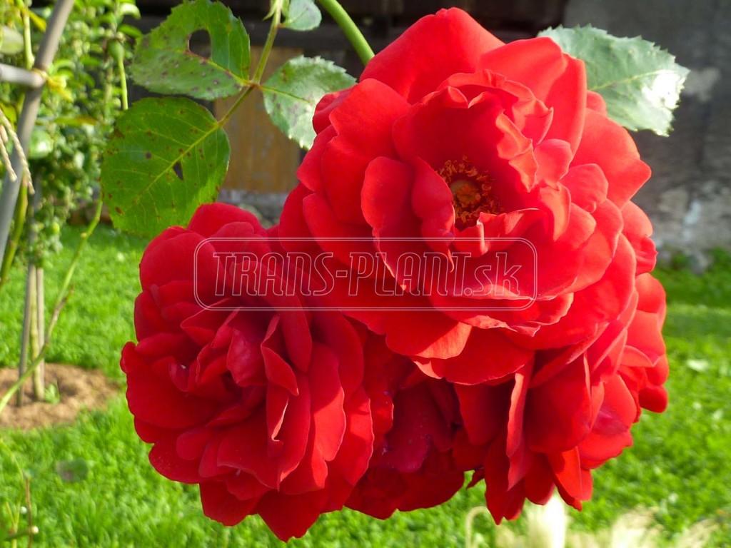 Niekoľko tipov v starostlivosti o ruže v lete